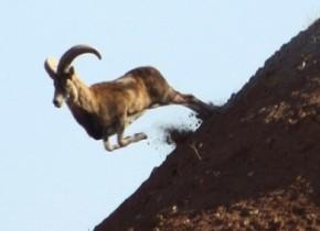 علت مرگ بیش از دویست قوچ و میش وحشی در پارک ملی